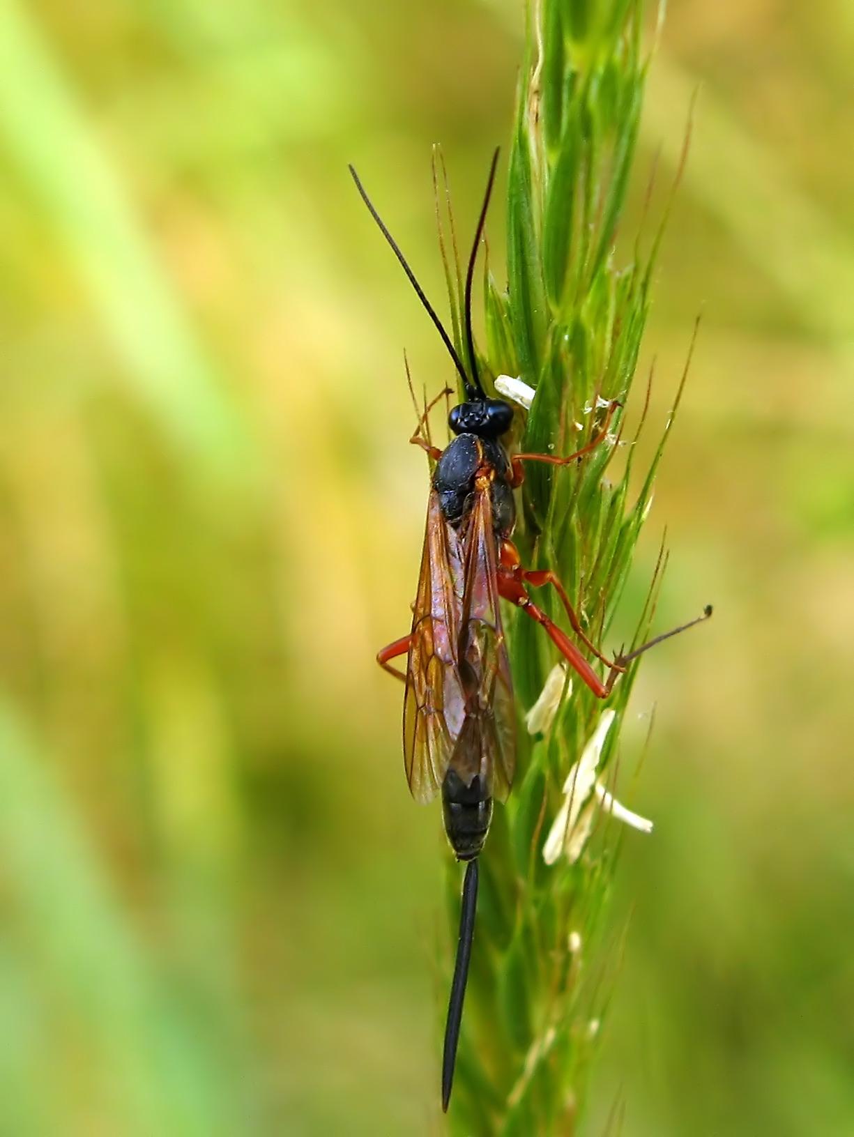 samica gąsienicznika