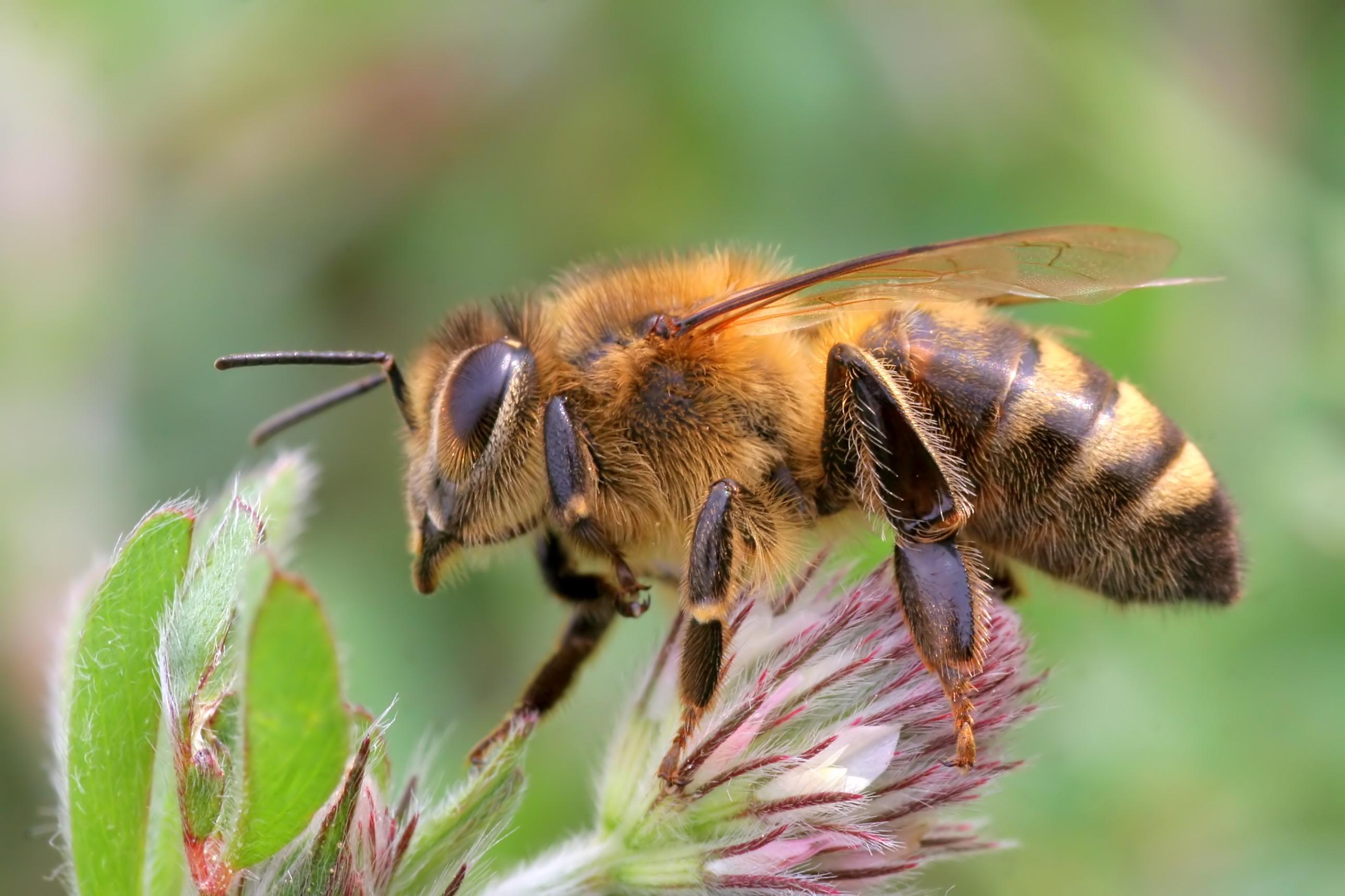 pszczoła, Apis mellifera