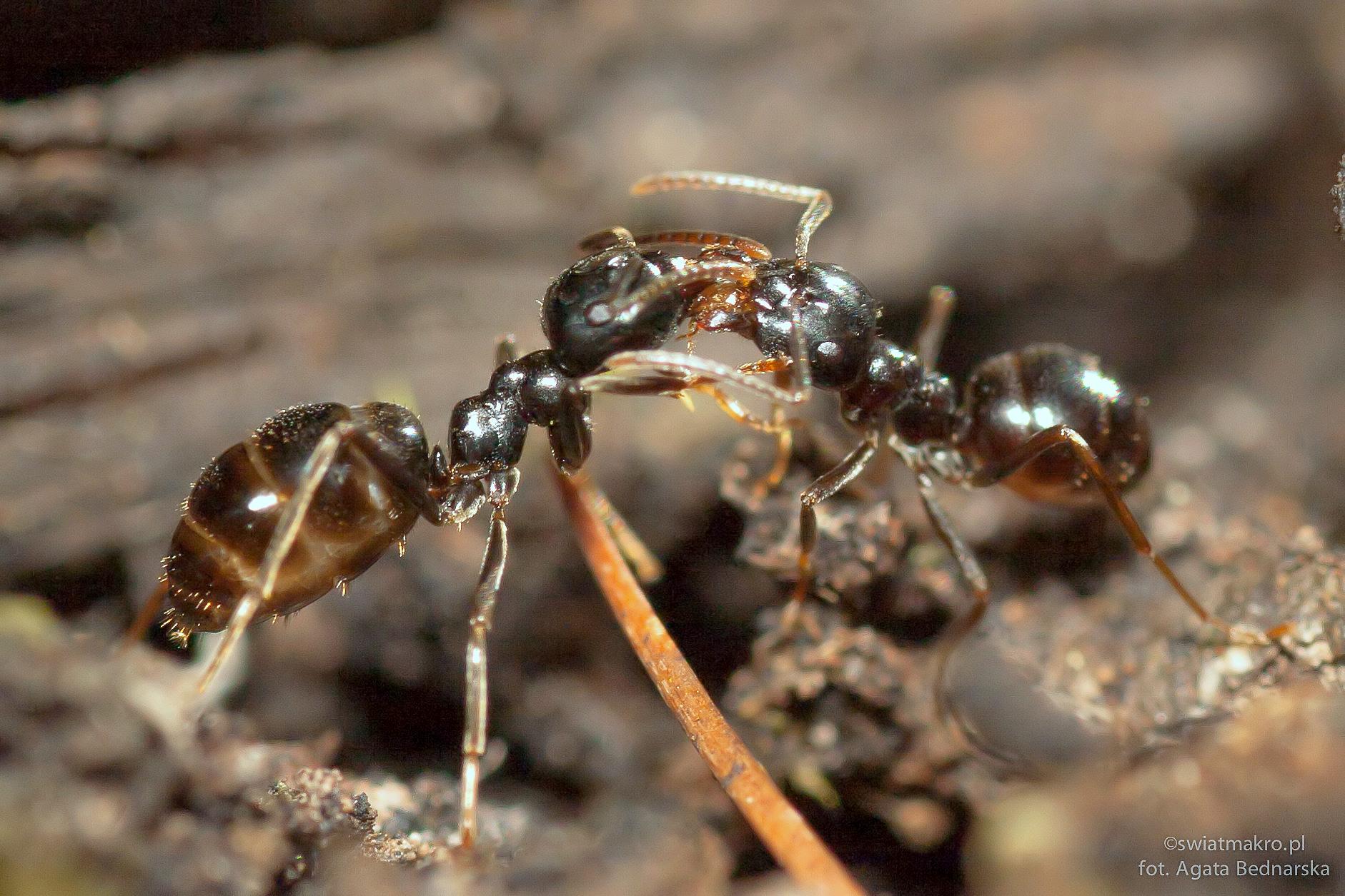 walka mrówek