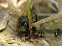 mrówki atakują pół żywą pszczołę