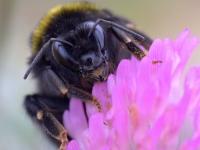 Trzmiel ziemny (Bombus terrestris L.)