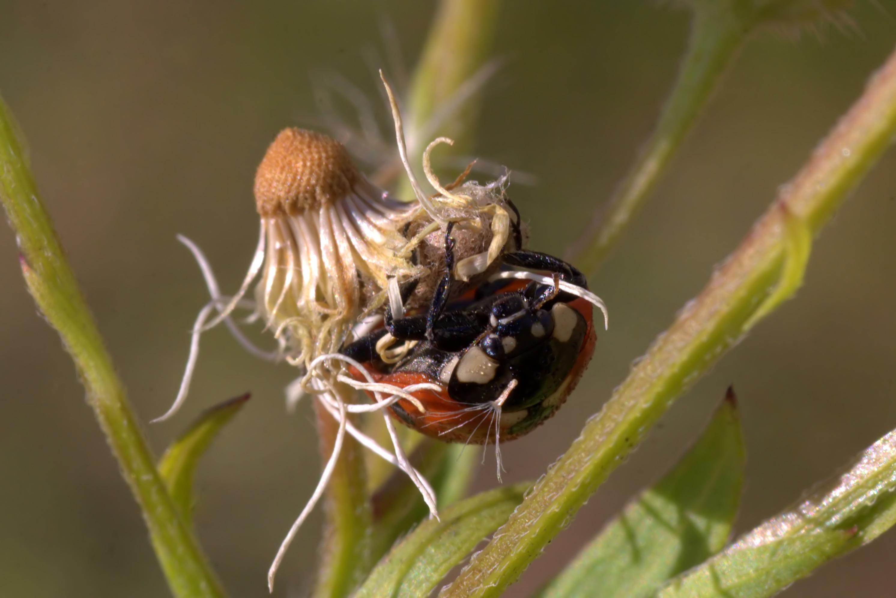 Siedmiokropka z pasożytniczym kokonem