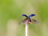 chrząszcz latający
