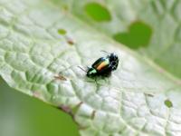 Kałdunica zielona