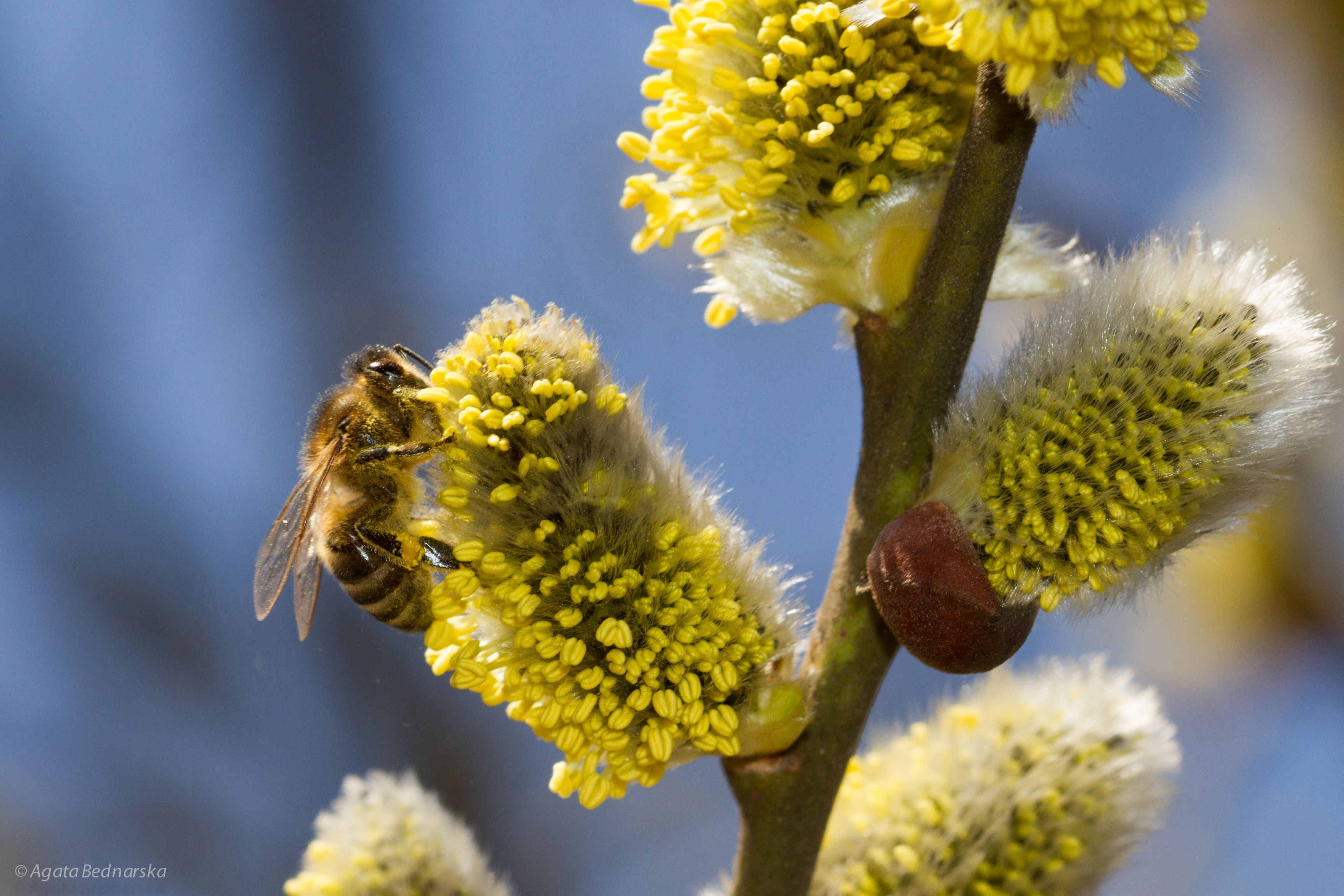 Wierzba iwa (Salix caprea L.)