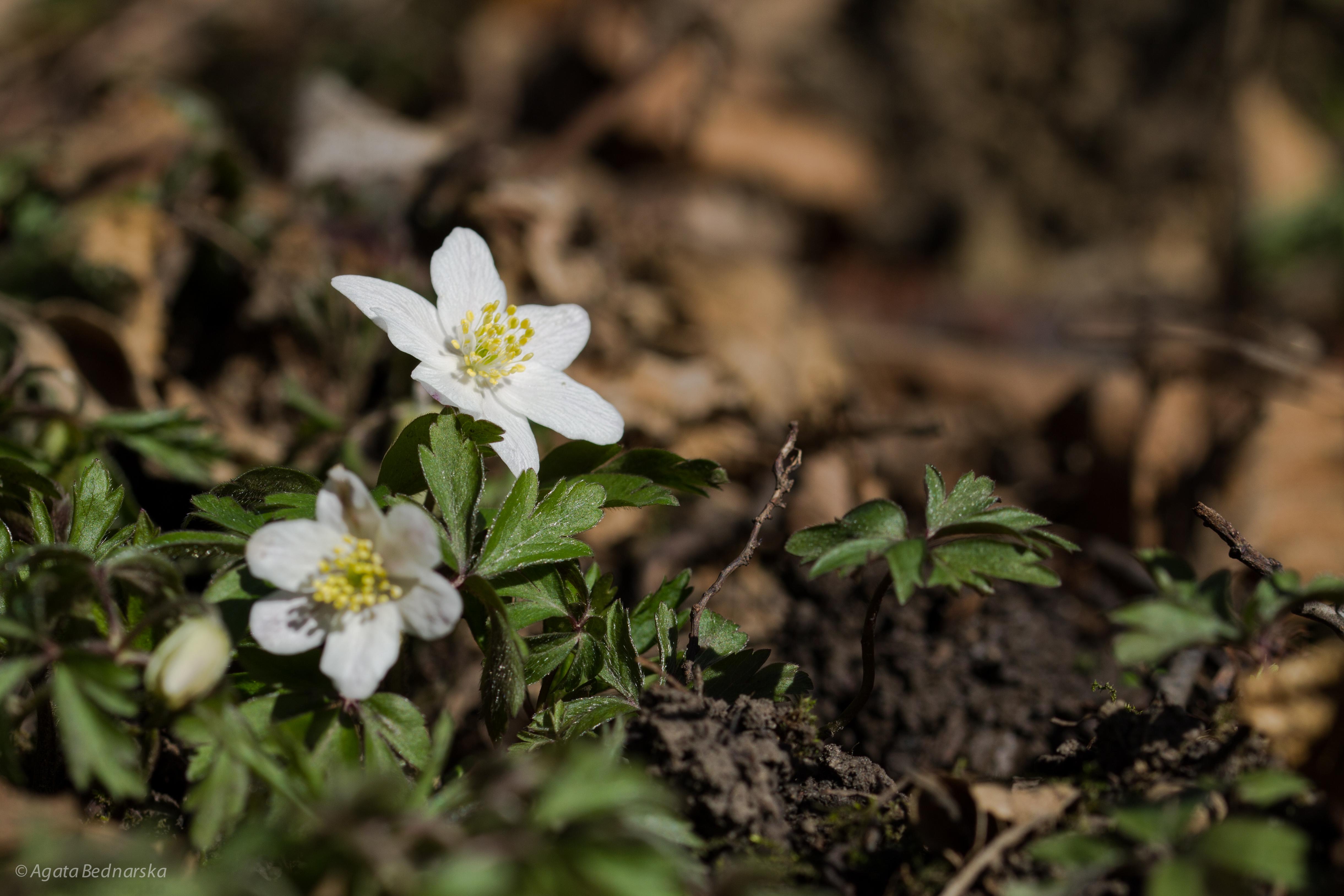 Zawilec gajowy (Anemone nemorosa L.)