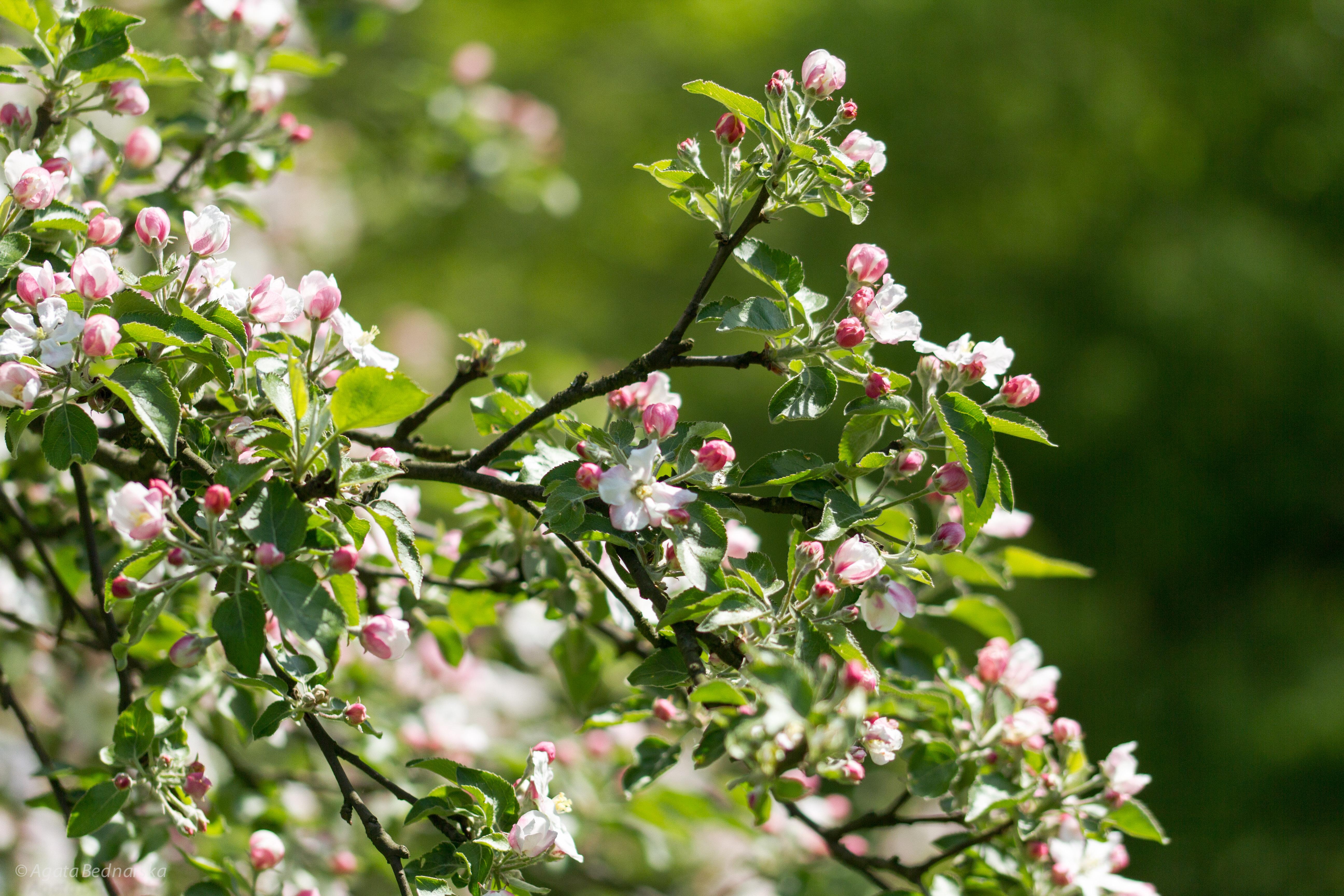 kwitnienie drzewa owocowego