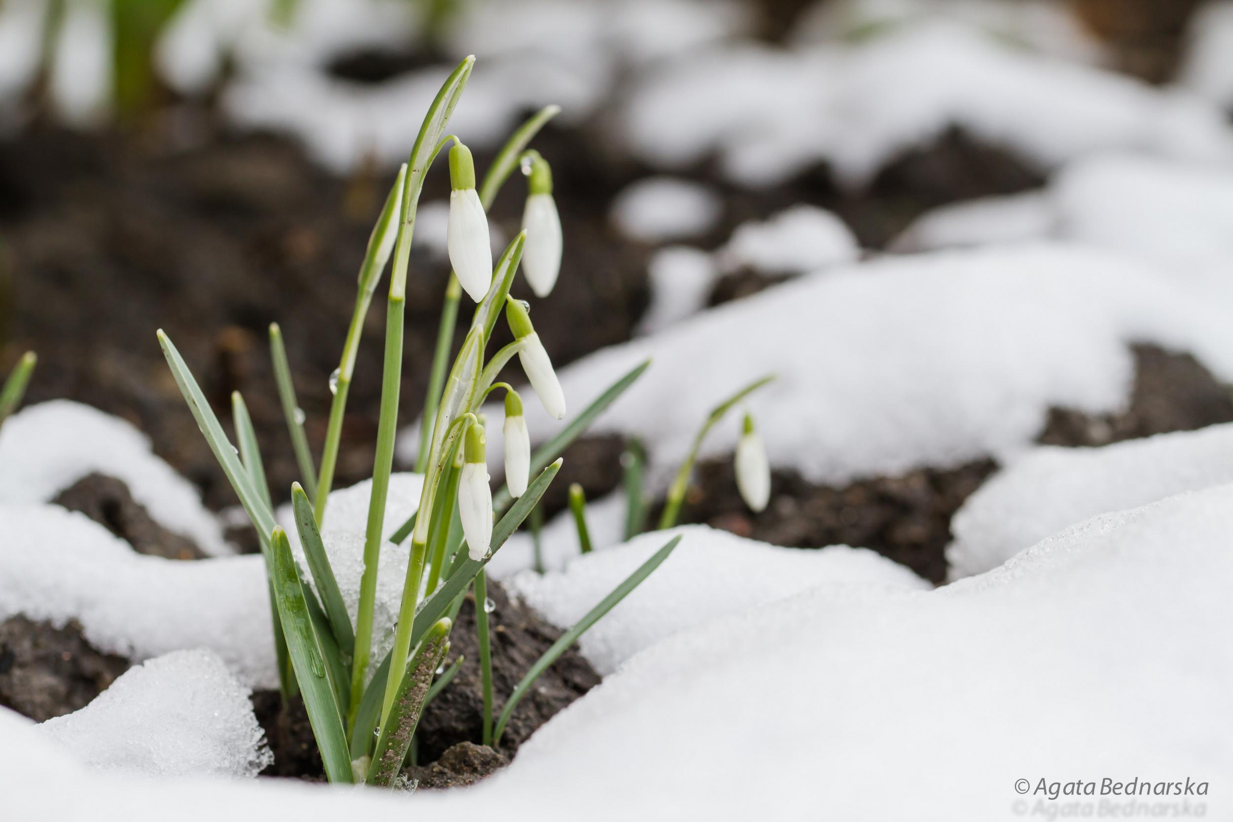 Początek przedwiośnia - śnieżyczka przebiśnieg, fotografia Agata Bednarska