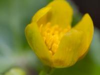 ziarnopłon wiosenny, jaskier wiosenny