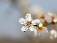 kwitnienie drzew owocowych
