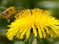 Mniszek pospolity z pszczołą