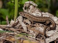 jaszczurka zwinka, samica