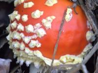 muchomor czerwony (Amanita muscaria (L.) Lam.)