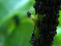 Drapieżna larw bzygi