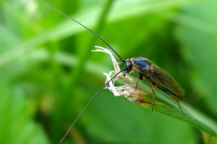 Karaczany (Blattodea)