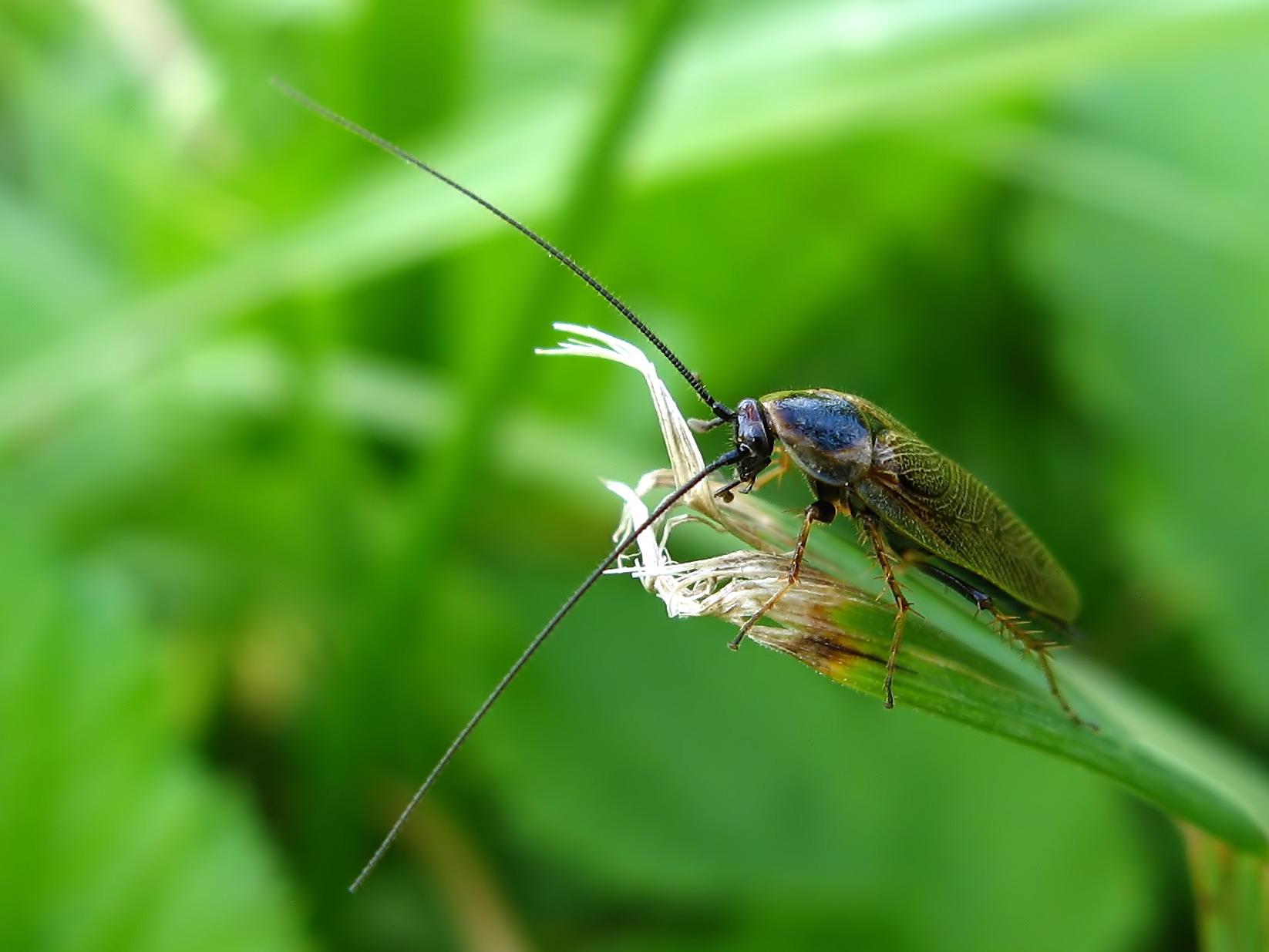 Zadomka (Ectobius sp.)