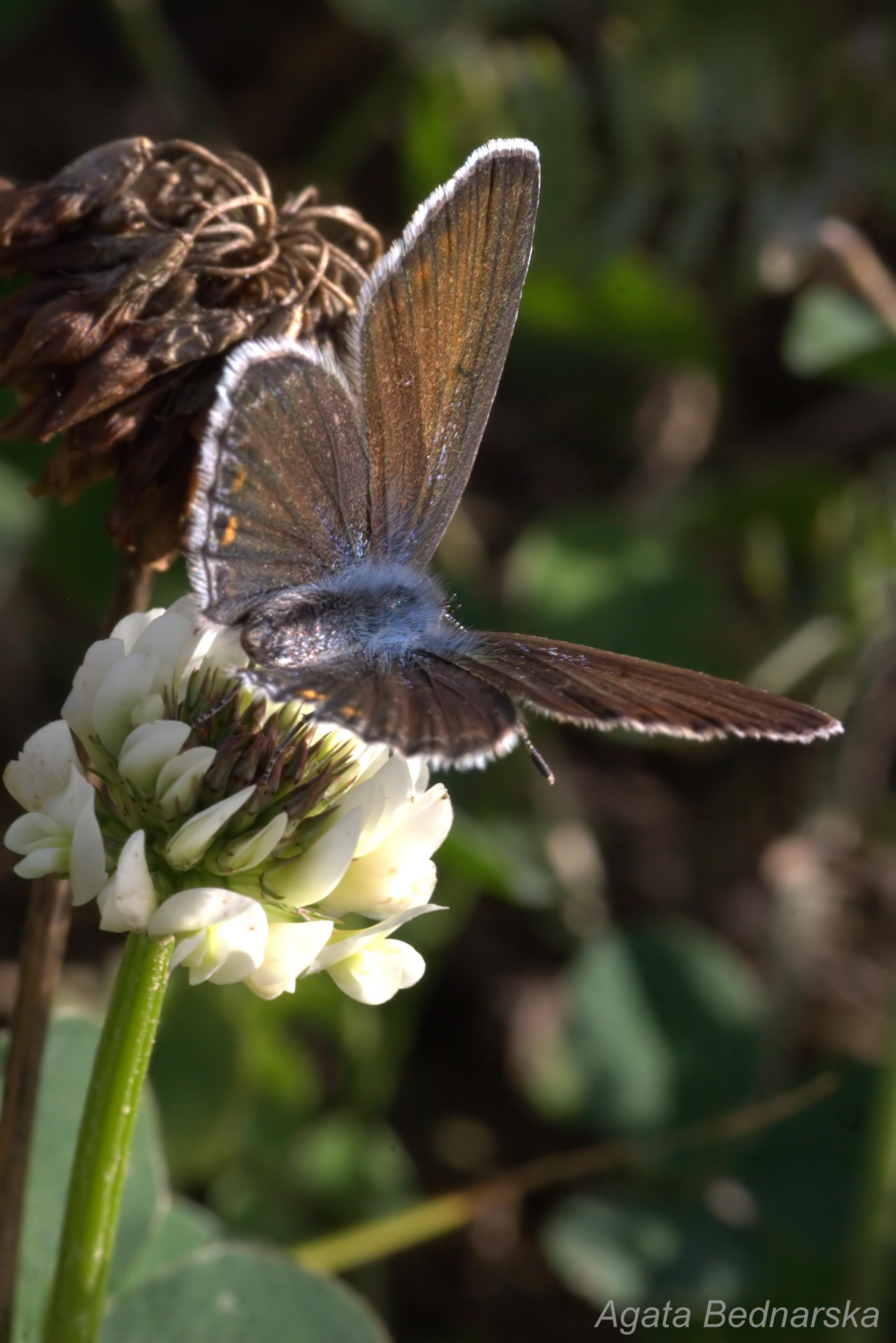 Modraszek ikar (Polyommatus icarus)