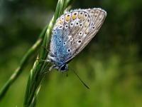 Modraszek ikar