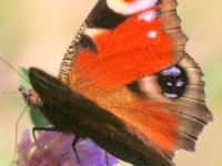 Rusałka pawik (Inachis io)