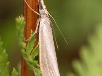 ćma z rodziny pyralidae