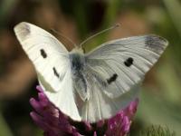 Bielinek kapustnik (Pieris brassicae )