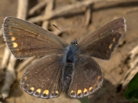 Modraszek ikar (Polyommatus icarus), samica