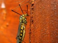 Koziułkowe (Tipulidae)