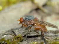 Brachyopa scutellaris – Nakwiecień