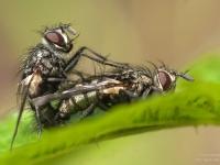 kopulujące muchy