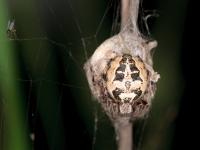 Samica pająka pilnuje kokonu z jajami