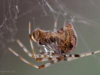 młody pająk, chyba krzyżak