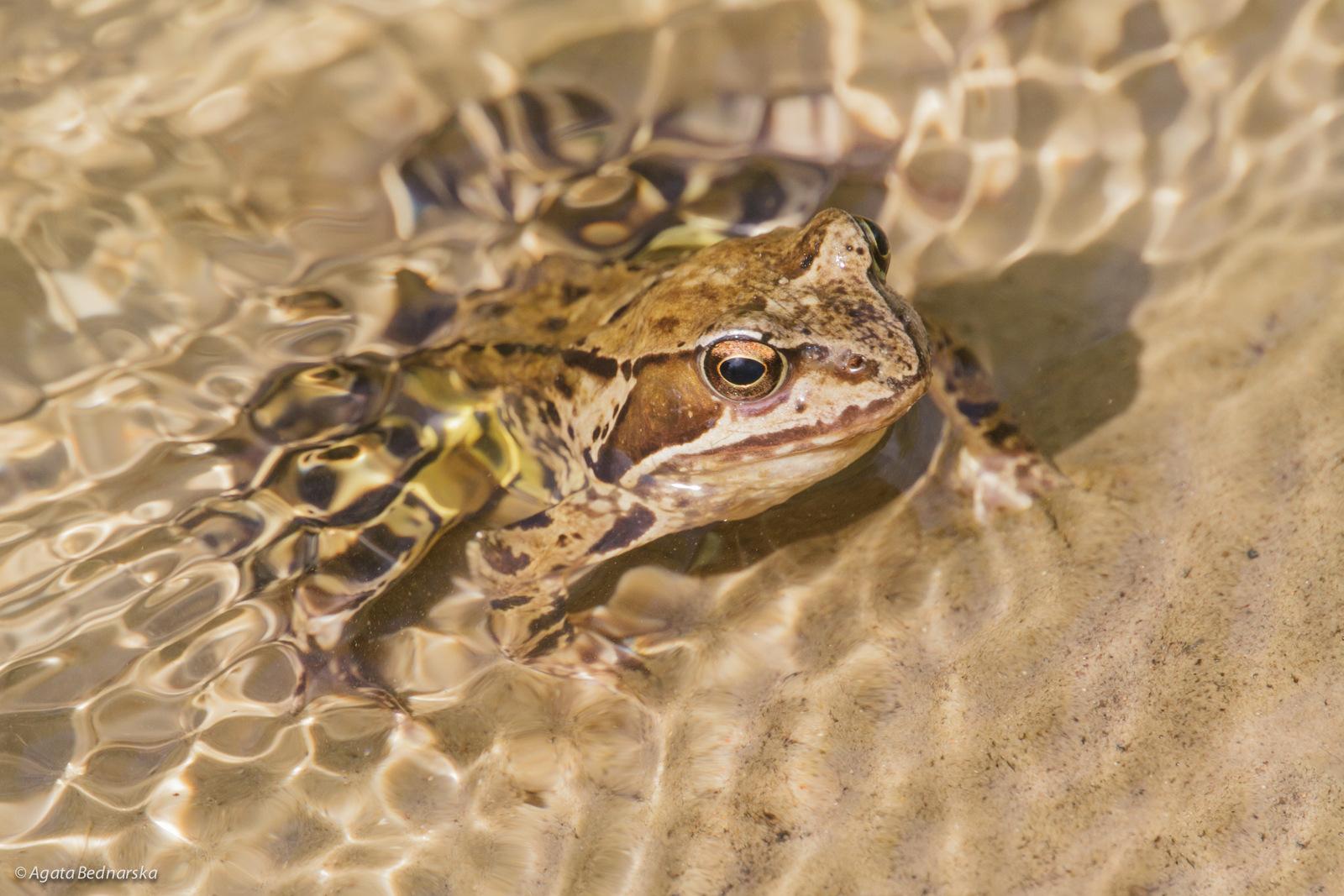 Żaba trawna?