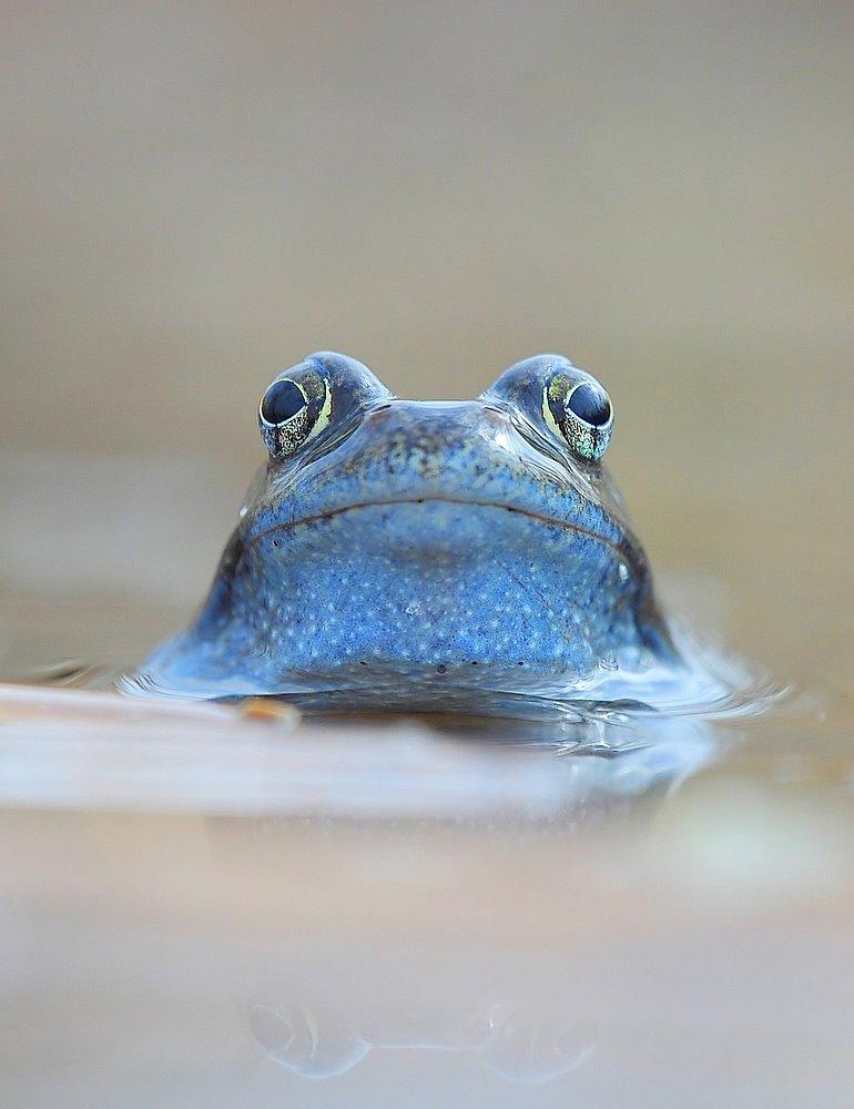 Żaba moczarowa (Rana arvalis)