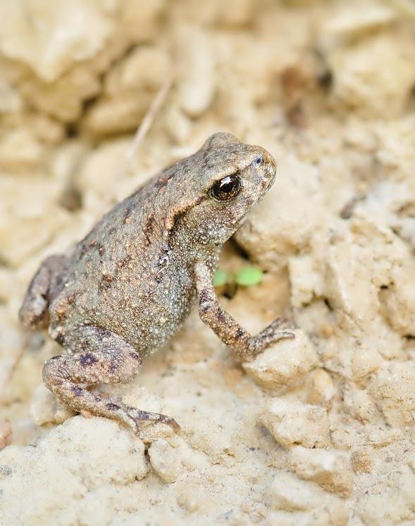 mała żabka, chyba trawna