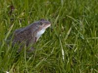 żaba trawna