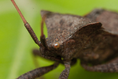 Pluskwiaki (Homoptera)