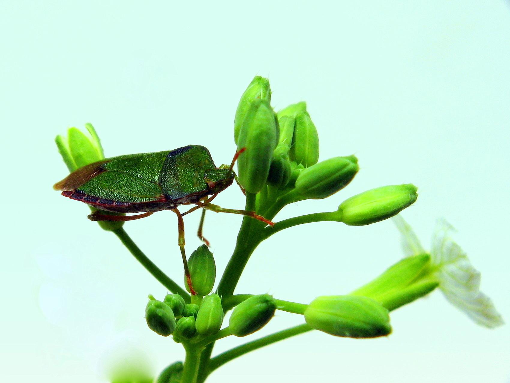Odorek zieleniak