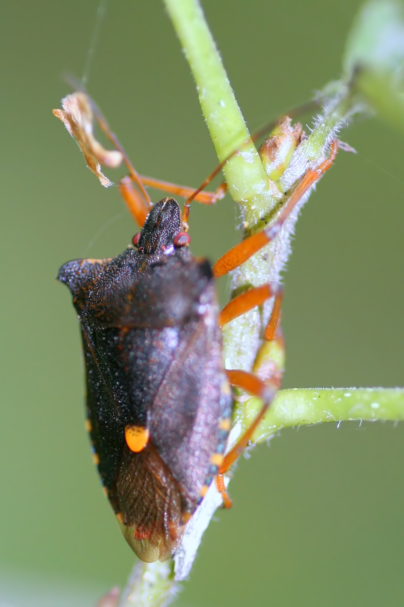 Tarczówka rudonoga (Pentatoma rufipes)