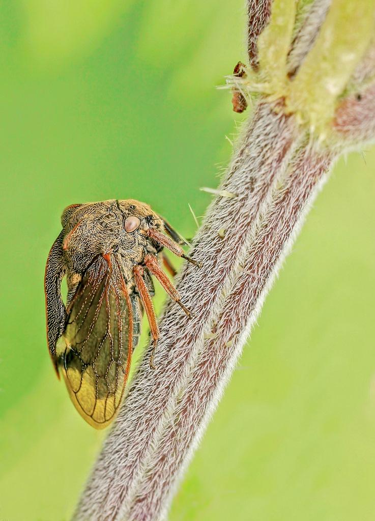 Zgarb rogaty (Centrotus cornutus) fot. Bartosz Bujała