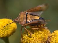 Pluskwiak z rodziny tarczówkowatych (Pentatomidae)