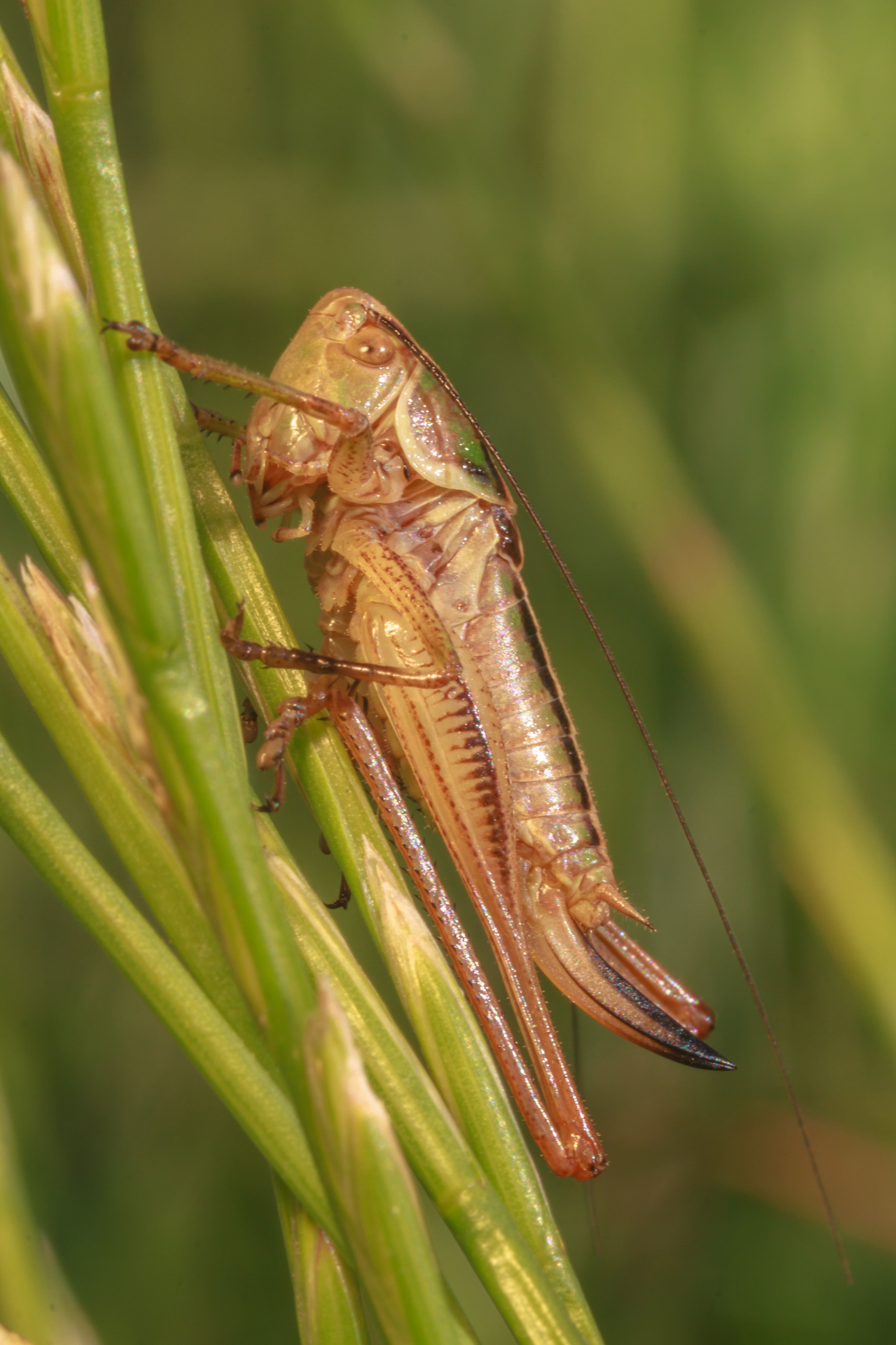 Podłatczyn Roesela (Metrioptera roeselii)