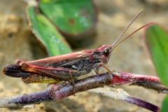 Prostoskrzydłe (Orthoptera)