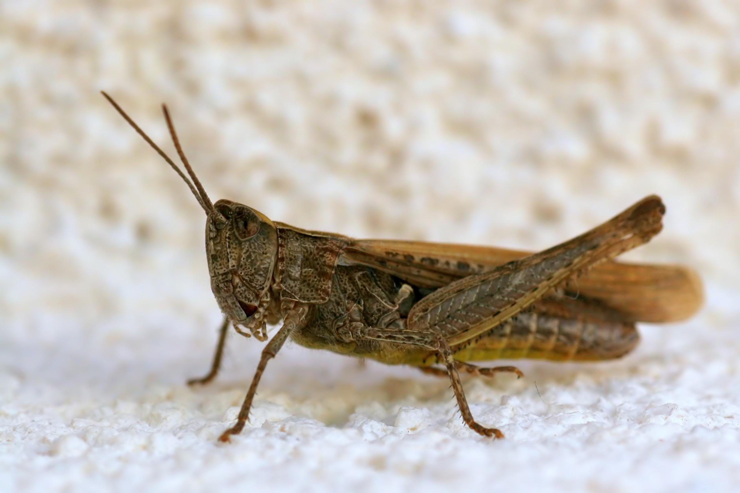 Konik pospolity (Chorthippus biguttulus)