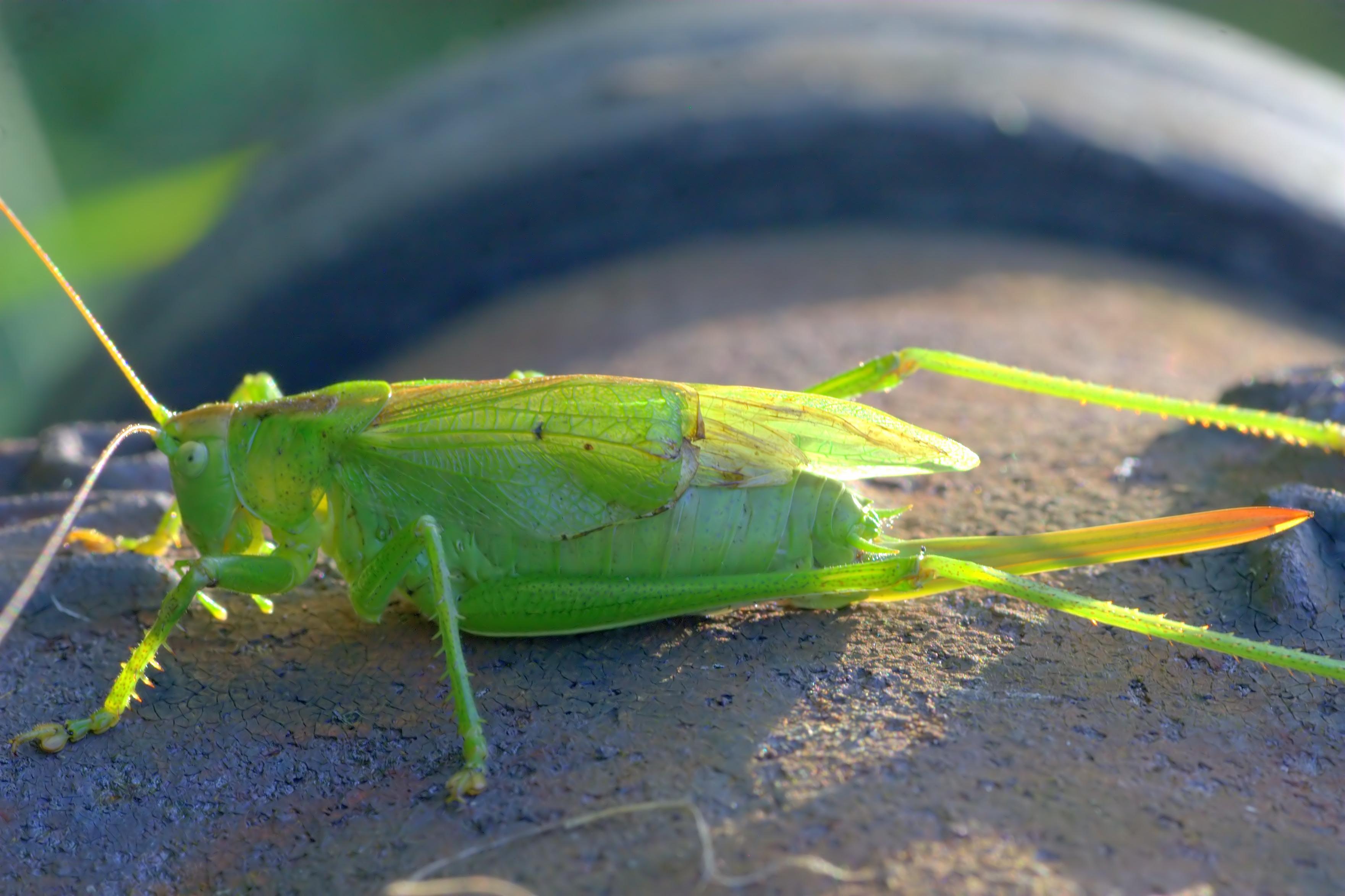 pasikonik zielony