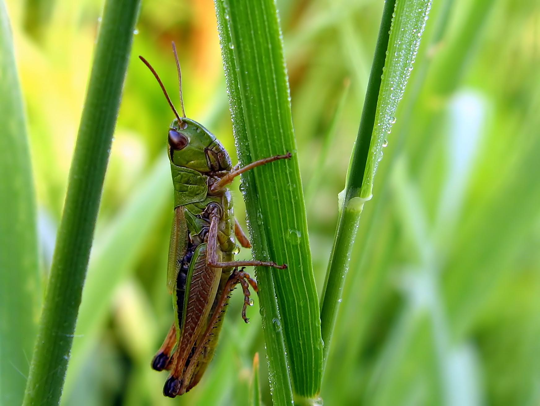 Konik wąsacz, konik łąkowy (Chorthippus parallelus)