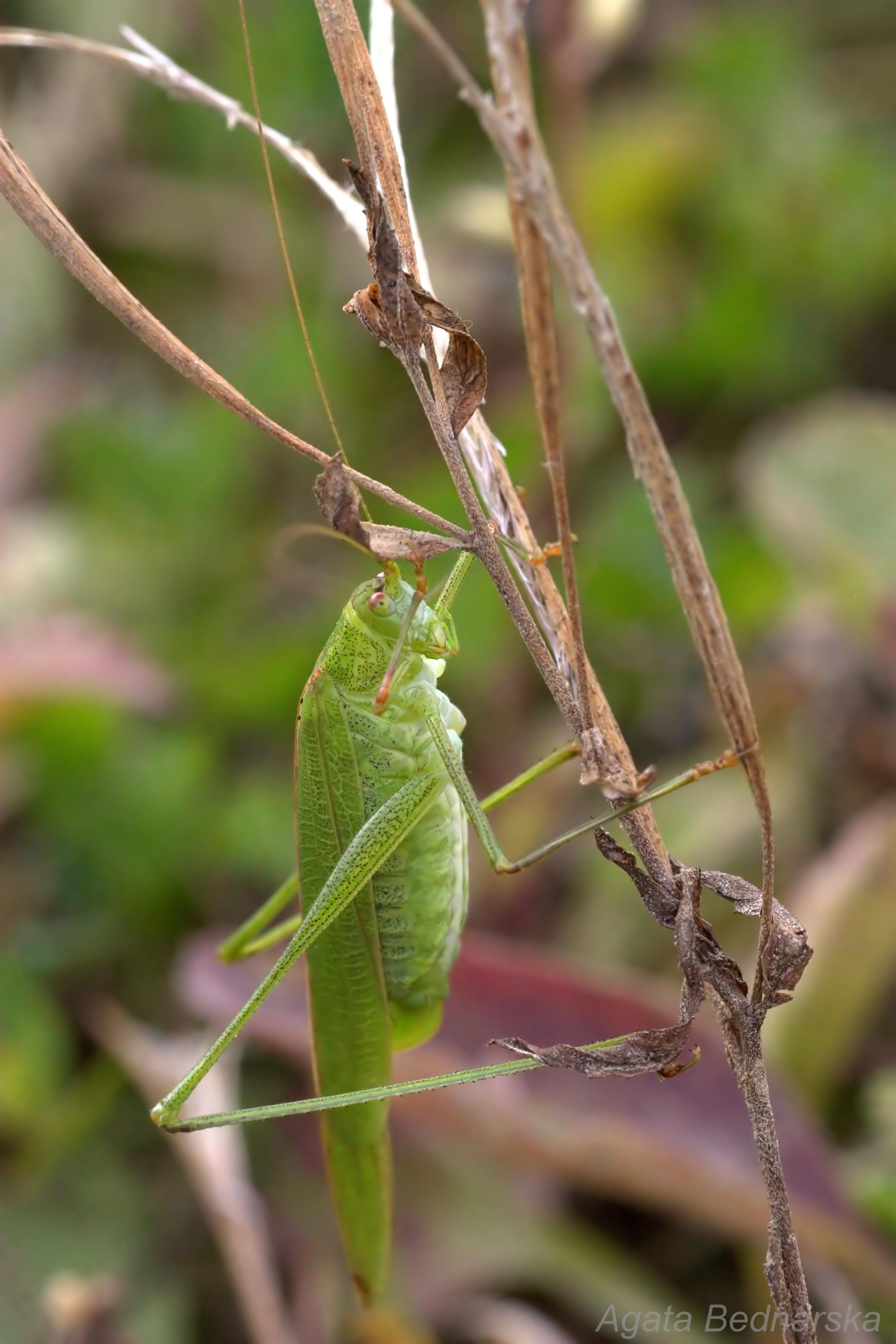 Długoskrzydlak sierposz (Phaneroptera falcata)
