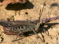 Konik brunatny (Chorthippus brunneus)