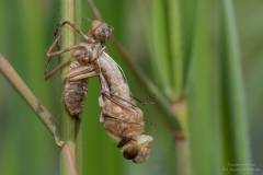 Ważki (Odonata)
