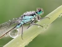 Tężnica wytworna, tężnica okazała (Ischnura elegans)
