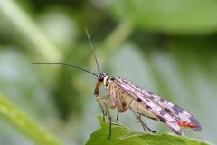 Wojsiłki (Mecoptera)